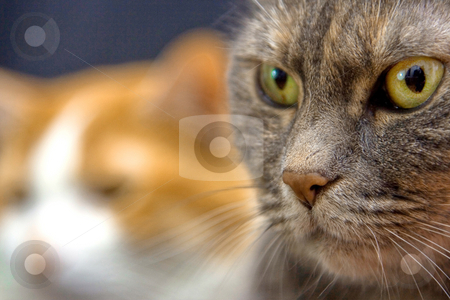 Cat's look stock photo, Two cats looking at the unknown by Paul Hakimata