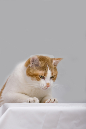 Curious cat stock photo, An orange cat curious to see what is on a white table, isolated on grey by Paul Hakimata