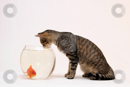 Home cat and a gold fish. stock photo, Home cat and a gold fish. by Fesus Robert