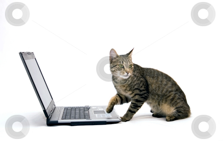 Home cat are surfing on the Internet stock photo, Home cat are surfing on the Internet by Fesus Robert