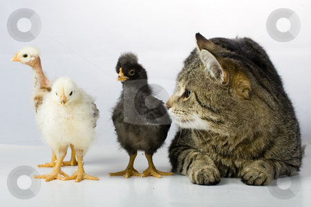 Chicken and cat stock photo, Chicken and cat by Fesus Robert