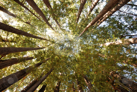Redwood Tree Grove stock photo, Redwood Trees Pointing Towards Sky in a Circle by Denis Radovanovic