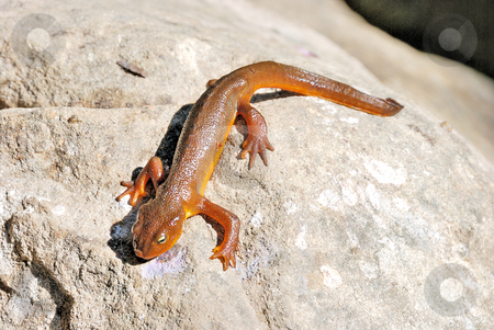 California Newt on A Rock stock photo, California Newt (Taricha Torosa) on A Rock in the Sun by Denis Radovanovic