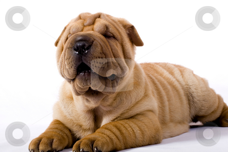Funny sharpei puppy isolated on white background stock photo, Funny sharpei puppy isolated on white background by Fesus Robert