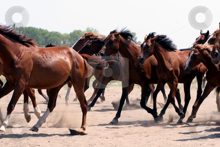 Horse Run stock photo, Horse Run by Fesus Robert