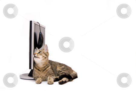 Cat stock photo, Modern silver monitor on reflective surface and home cat, isolated on white by Fesus Robert