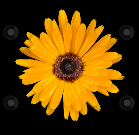 Beautiful yellow flower stock photo, Macro of a beautiful yellow flower isloated on black by Laurent Dambies