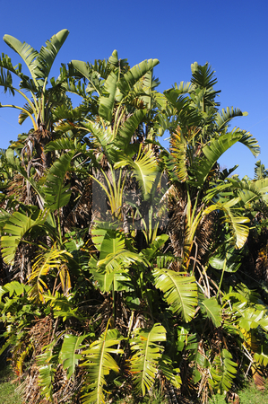 Wild banana bush stock photo, A cluster of wild banana trees forming a little forest. by Nicolaas Traut