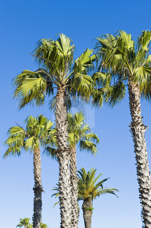 Beautiful green palm trees etched against a blue sky stock photo, Beautiful green palm trees etched against a blue sky. by Nicolaas Traut