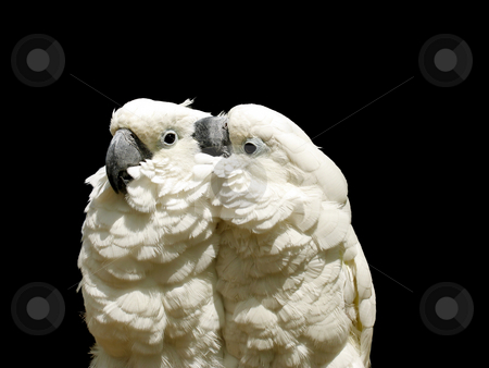 White parrots stock photo, Two white parrots against black by Anita Peppers