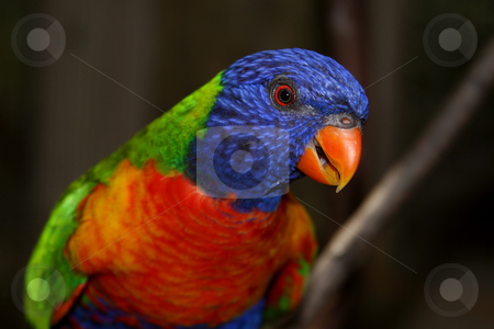 Lorikeet stock photo,  by Anita Peppers