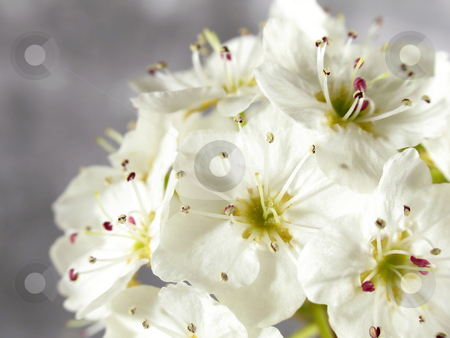 Spring blossoms stock photo, Bradford Pear Blossoms by Anita Peppers