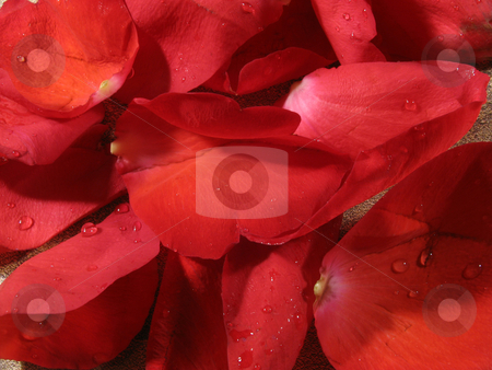 Rose background stock photo, Red rose petal background by Anita Peppers