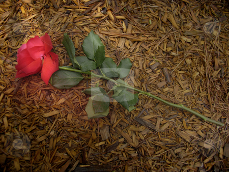 A Rose Trampled on the Ground stock photo, Christian symbolism by Anita Peppers