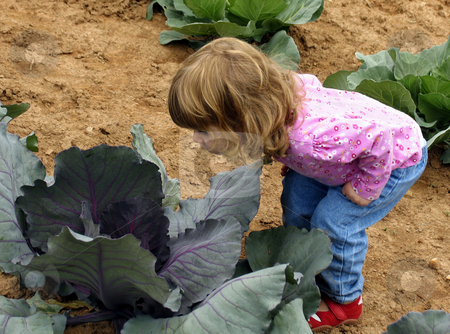 Child in cabbage patch stock photo, Little girl peering into cabbage in a garden by Anita Peppers