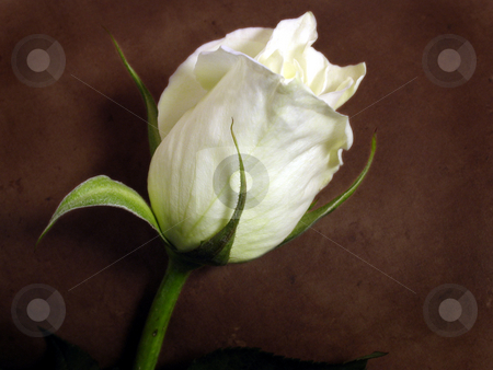 White rose stock photo, White rose against a brown background by Anita Peppers