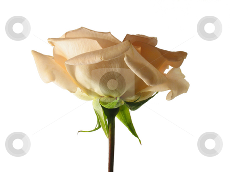 Rose stock photo, Pale peach rose isolated on white by Anita Peppers