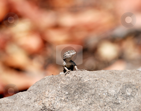 Western Fence Lizard stock photo, Western Fence or Blue-Bellied Lizard (Sceloporus occidentalis) On Top of a Rock by Denis Radovanovic