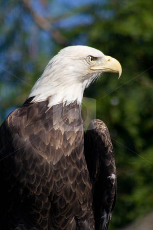 Bald Eagle stock photo,  by Mark Holland