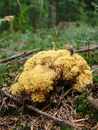 Coral mushroom stock photo, Yellow coral mushroom, genus Ramaria, forest in the background. by Nedim Juki?