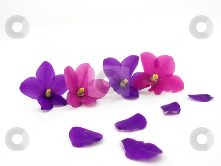 Violets stock photo, Violet flowers and petals isolated on white background. by Nedim Juki?