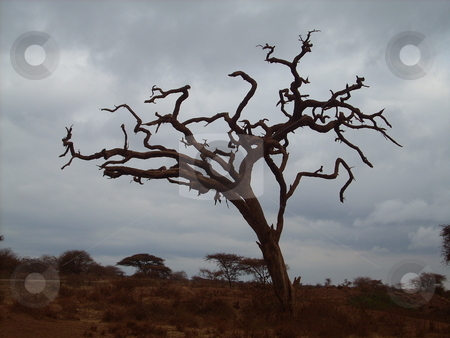 Dead Tree in the Wilderness stock photo, Beautiful, artistic, dead and dried up tree silhouetted against the gray eerie skies in the wilderness by Rose Nthiwa