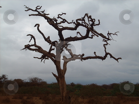 Twisted dead tree in the Wilderness stock photo, Beautiful, artistic, dead and dried up tree silhouetted against the gray eerie skies in the wilderness by Rose Nthiwa