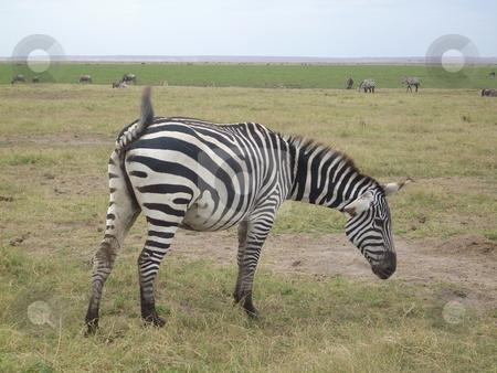 Lone Zebra grazing stock photo, Lone Zebra grazing in the Tsavo National Park, Kenya,Africa by Rose Nthiwa