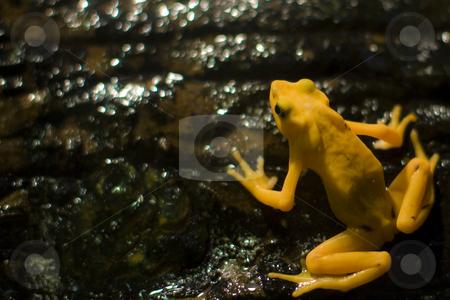 Golden Frog stock photo,  by Seph Daradar