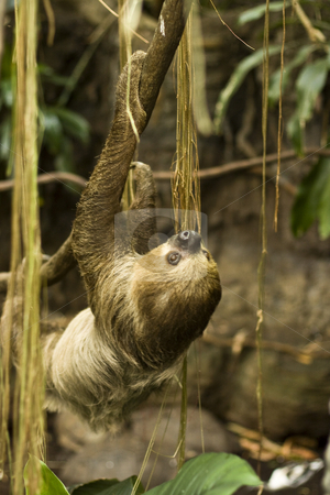 Sloth stock photo, A two toed sloth by Seph Daradar