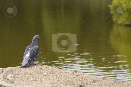 Pigeon at the pond stock photo, A pigeon at a park with water in view by Seph Daradar