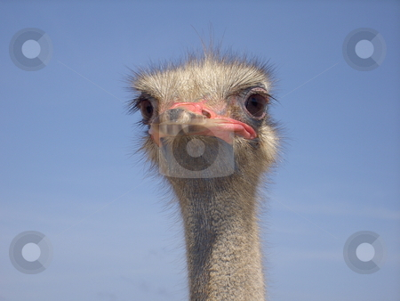 Ostrich stock photo, Picture of an ostrich by Keimpe Roedema