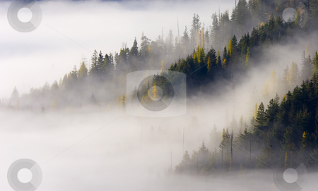 Gold in them Hills stock photo, Golden larch trees dot the slopes and ridges of a fog shrouded mountain near White Pass in Washington by Mike Dawson