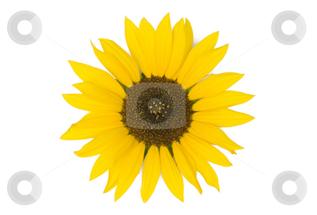 Sunflower on White Background stock photo, Sunflower isolated on white background by Mike Dykstra