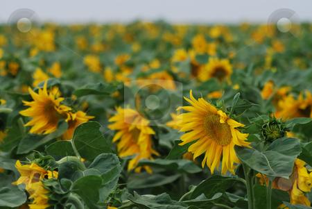 Sunflower at sunset2 stock photo,  by Gady Cojocaru