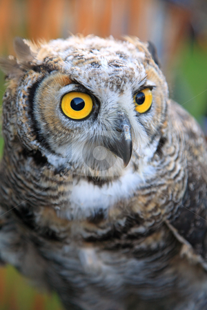 Owl stock photo, Portrait of owl with yellow eyes, soft focus by Tilo