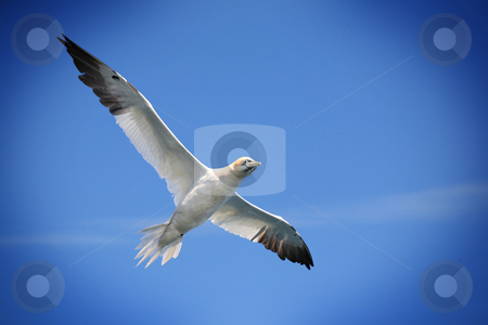 Flying Northern gannet stock photo, Flying Northern gannet against a blue sky, with a vignetting effect. by Tilo
