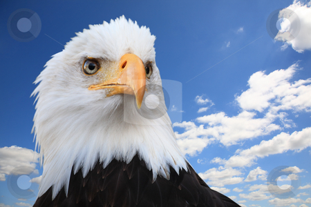 Bald eagle (Haliaeetus leucocephalus) stock photo, Bald eagle (Haliaeetus leucocephalus) against a blue sky, wide angle. by Tilo