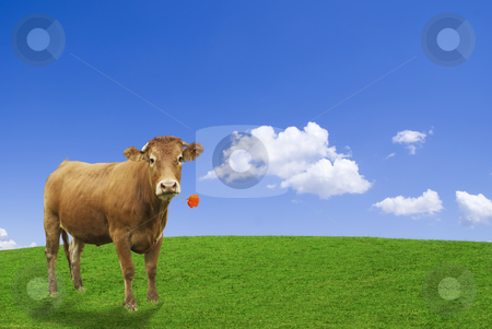 Brown cow stock photo, Brown cow in an ideal agricultural word eating a red poppy. by Serge VILLA