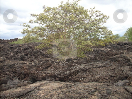 Life and Hope-Shetani Farm stock photo, Life and Hope.  A beautiful bush grows and blooms out of the dried up lava in the Tsavo National Park in an area the local Masai community refer to as Shetani Farm-'Devils Farm' -a rock covered-barren expanse of land. by Rose Nthiwa