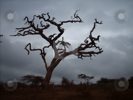 Dead Tree silhouette stock photo, Beautiful, artistic, dead and dried up tree silhouetted against the grey eerie skies in the Amboseli National Park by Rose Nthiwa