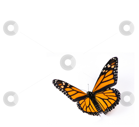 Monarch Butterfly on White stock photo, Monarch Butterfly on White Background by Mike Dykstra