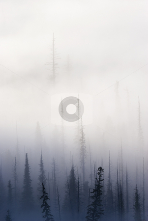 Above them All stock photo, A dead fir stands tall among the rest of the forest hidden in a morning fog not from the crest of the Cascade Mountains in Washington by Mike Dawson