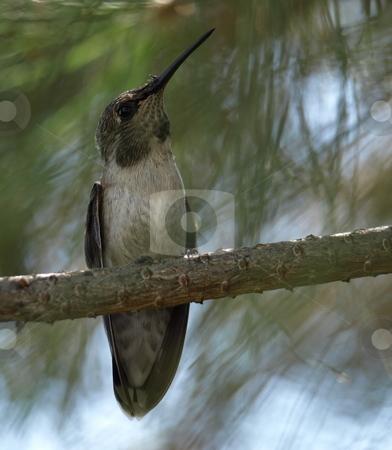 Hummingbird stock photo, Hummingbird in pine tree by Joseph Ligori