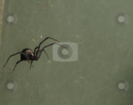 Black Widow Spider stock photo, Black Widow Spider by Joseph Ligori