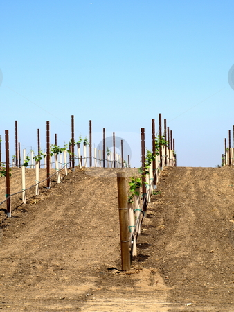 New Grape Vines stock photo, New Grape Vines up and over hill by Joseph Ligori