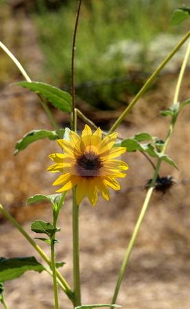 Sun Flower in Field stock photo, Sunflower in Field by Joseph Ligori