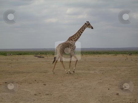 Giraffe posing gracefully stock photo, Elegant tall Giraffe poses against the gray sky at the Tsavo National Park, Kenya,Africa. by Rose Nthiwa