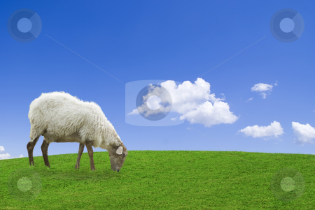 The pasture stock photo, White sheep in a green grass against a blue sky by Serge VILLA