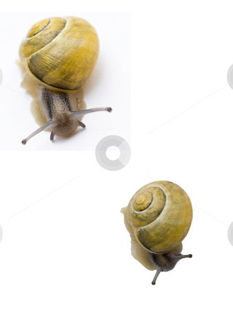 Yellow snails stock photo, Two snails with yellow shell racing isolated on white by Laurent Dambies